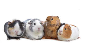 guinea pigs talking to each other