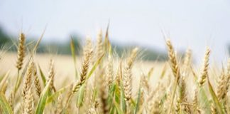 Are Grains Bad for You