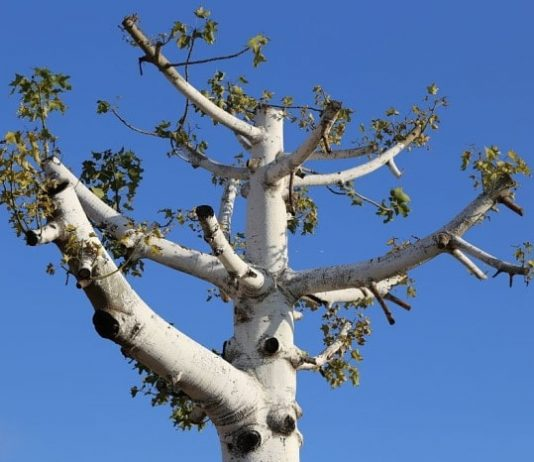 Why Topping Hurts Trees