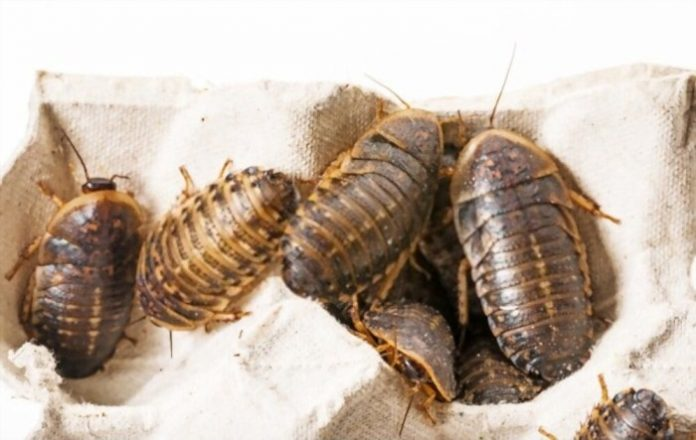 Breeding Dubia Roaches