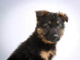 Adopting a German Shepherd